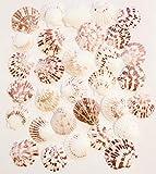 Goldenvalueable Scallops Shells Natural ~2' - Bag of Approx. 30 Seashells