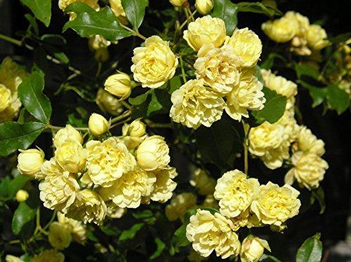 ROSA BANKSIA Lutea - 5.5lt Potted Rambling Garden Rose - Golden Yellow Blooms
