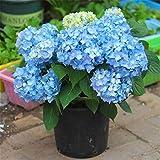 semi di fiori di ortensia blu 20 pezzi perenni biologici freschi facili da coltivare piante semi di fiori per piantare giardino da giardino all'aperto al coperto