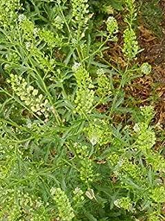GEOPONICS PAUVRE semences Pepper virginicum