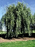 Gold Weeping Curly Willow Tree Cutting - Rarest of All Willows - Grow This Exotic Weeping Curly Willow Tree - Excellent Live Bonsai Tree