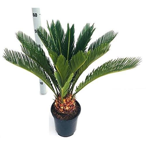Cycas Revoluta ca. 65 cm 14 Wedel/Topf 17 Palmfarn Sagopalme