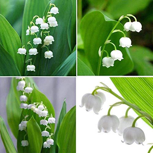 GETSO Samen-Paket: 20Pcs Florese Maiglöckchen Blumen Samen Bonsai Samen Hot