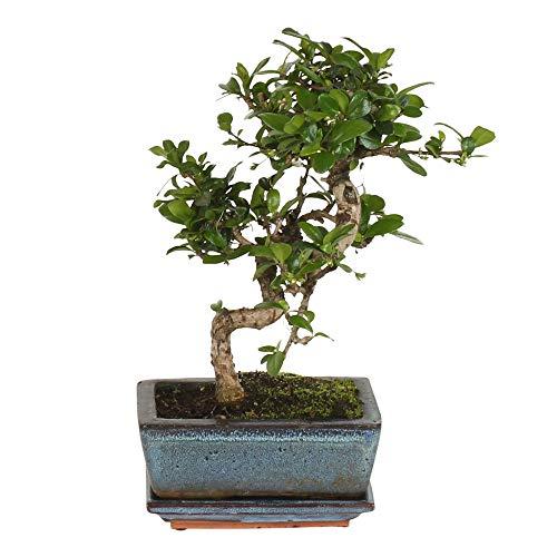 Carmona microphylla | Fukientee S-Form | Bonsai Baum inkl Keramik Bonsaischale | Höhe 20-25 cm | Topf-Ø 12x8 cm