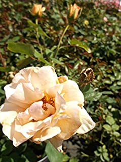 Best sunset rose bush Reviews