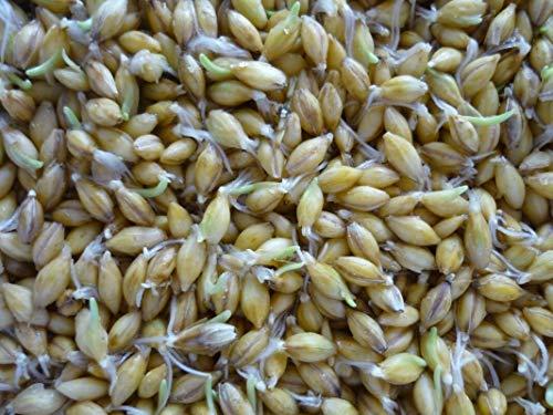GETSO 100 - Seeds: Organische Goldene Leinsamen! - Steigern Sie Ihren eigenen Sprösslinge !! Sehr gesund für Sie !!!!!!