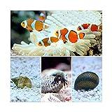 (海水魚)カクレクマノミ(2匹)とお掃除屋さんセット・A 1セット 北海道・九州・沖縄航空便要保温