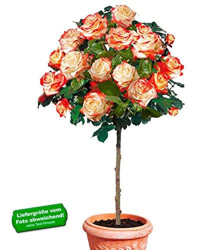 BALDUR Garten Delbard® Rosen-Stamm...
