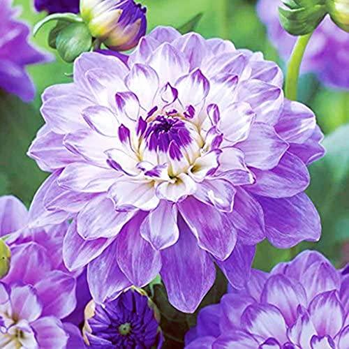 Bulbos De Dalia Están Disponibles Para La Venta,Como Jade Y Flores,Amado Por Los Consumidores,Dignas Y Hermosas,Hermosas Flores-5 Bulbos,A