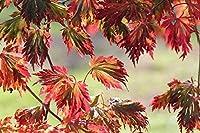 大人のためのAPAN1000ピースパズル-秋の紅葉-最高のパズル
