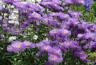 Best azure fairy daisy Reviews