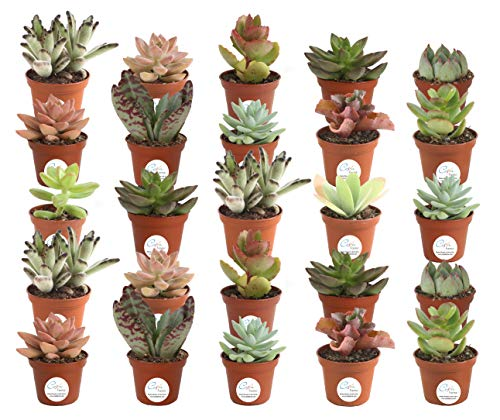 Costa Farms Various Succulents Indoor Plants 25-Pack, Grower's Choice, 2-Inches Tall