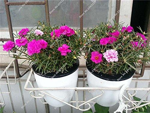 Portulaca Seed, Moss-rose Pourpier Plantes d'intérieur Fleurs doubles semences Balcon et cour Bonsai Seed en herbe Taux 95% 120 Pc 11