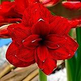 3 Stück Amaryllis Zwiebeln Schöne Rote Blütenblätter Exotische Staude Winterharte Blumenzwiebeln Für Gartenbalkonbepflanzung Ideale Schnittblumen Für Die Fensterbankdekoration Im Innenbereich
