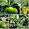Pinkdose Famiglia Artocarpus incisa Bonsai, Piante Ornamentali Frutta Bonsai, Frutta Tropicale Jackfruit Tree Frutta pianta Spedizione Gratuita 5 PZ #3