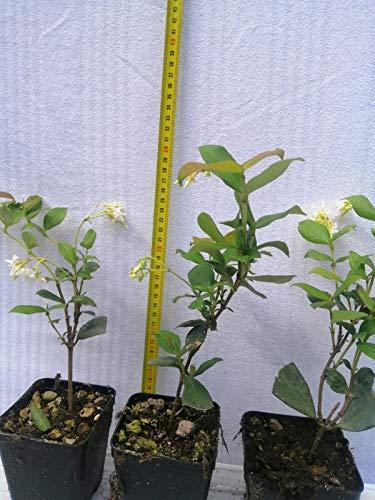 Gelsomino 10 piante (foto reali)