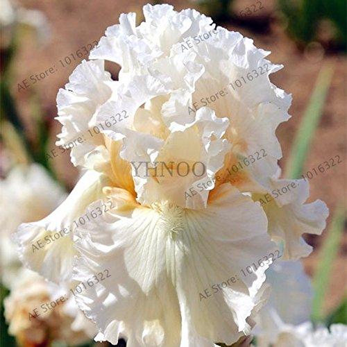50pcs / sac graines Iris, fleur populaire de jardin de plantes vivaces, graines de fleurs rares coupe magnifique fleur pour la plantation jardin maison orchidées 9