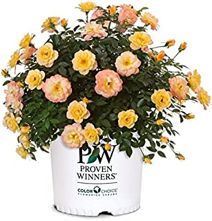 Proven Winners - Rosa OSO EASY Italian Ice (Rose) Rose, yellow w/pink, #2 - Size Container