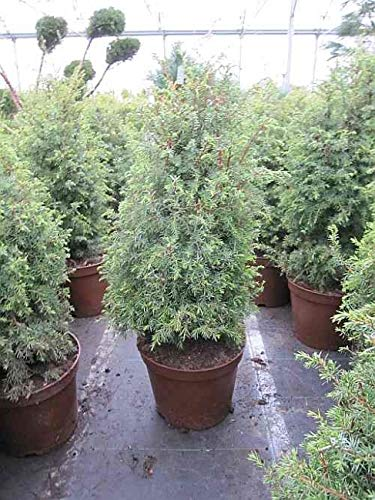 Juniperus communis Excelsa- Gesunder Heidewacholder - Feuerbaum - Weihrauchbaum - Wacholderbeere - Räucherstrauch