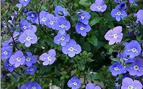 Alick 25 Stück Creeping Speedwell Bodendecker Blumensamen (Veronica Repens)