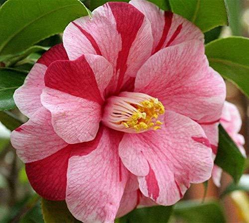 Camellia - Live Plant - Quart Pot (ILR) (Lady Vansittart Variegated Camellia Japonica)