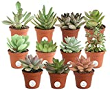 Costa Farms Unique Succulents Indoor Plants 11-Pack, Grower's Choice, 2-Inches Tall
