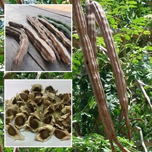 yanbirdfx Green Plants, 50 semillas de moringa oleifera saludables, beneficios para la piel de la salud