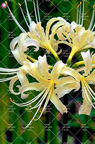2PCS vrai Lycoris Radiata Ampoules Bana Ampoules (pas de graines) Fleurs en pot Ampoule d'intérieur Bonsai usine pour la maison Jardin 1