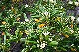 Japanese Cheesewood Seeds, Japanerse Mock-orange, Pittosporum tobira - Perennial