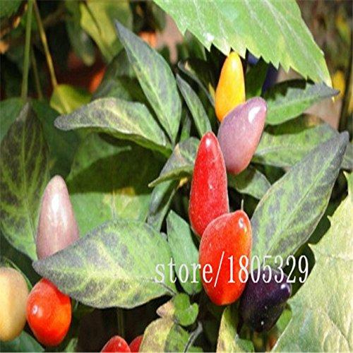 Arc-en-Piments graines de multi couleur poivre graines intérêt Mini Garden Home plantes