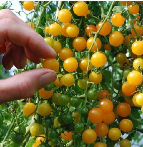 100 pcs/paquet Précipité nouvelles Plantes d'extérieur Promotion Jardin semences de tomates en pot fruits Bonsai Balcon de semences de légumes 22