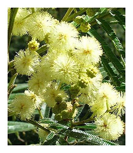 Acacia mearnsii - Acacia noir - 100 graines