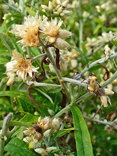 Sweet Everlasting (Pseudognaphalium obtusifolium) 30mg Seeds for Planting,...