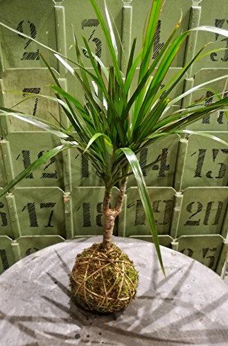 IFIORINELLARETE KOKEDAMA Moss Ball - String Garden - Perla di Muschio - Hanging plants - Pianta vera - Interno Medium