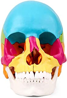 Anatomical Model Painted Human Anatomy Skull Model Kit Version Coloured Adult Human head Skull Anatomical science Teaching...