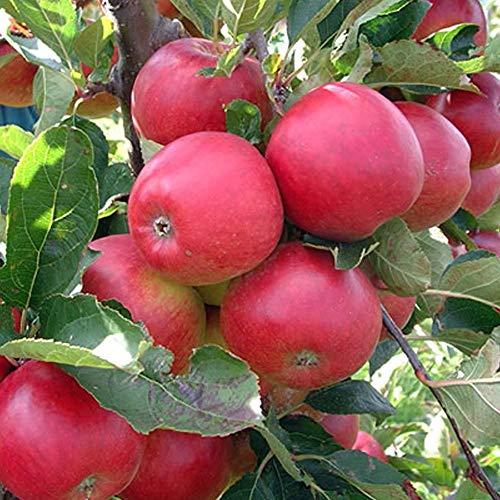 Promotion 30 pcs Bonsai Pommier Graines rares graines de fruits bonsaï tree-- Amérique rouge délicieux graines de pomme jardin pour pot de fleurs