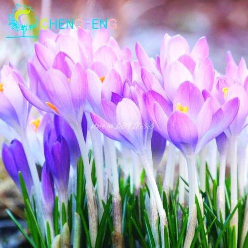 50pcs / Graines Sac Crocus sativus Fleurs en pot Graine Variété complète Bonsai safran Crocus Le bourgeonnement Taux 95% (couleurs mixtes)