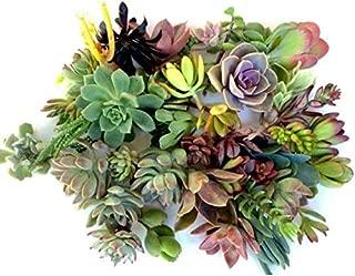 spanish succulent plants