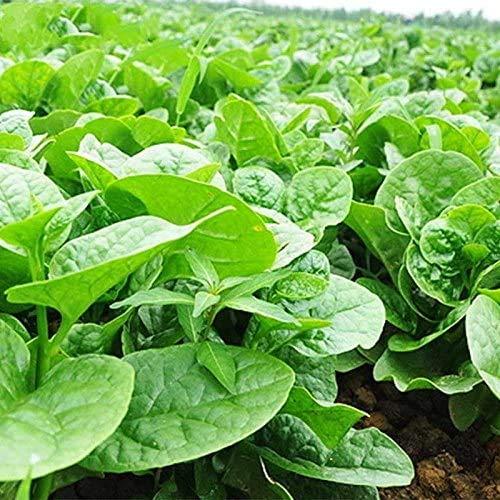 35 graines/Paquet, baselle semences meilleur jardin plantes potagères Semences