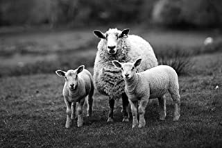 Sheep Black and White Art Print on Canvas,Wall Decor Poster 20x30 inches