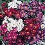 100個のアスター種子Alpinusミックスフラワーの種