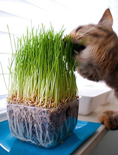 Prime Graines d'herbe chat BIO Lunas ♥ - 1 sachet avec mélange de graines 90g pour environ 45 pots d'herbe à chat prête à l'emploi dans un sac refermable