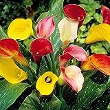 Zantedeschia Mix Calla Lily - 3 flower bulbs