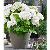"Hydrangea macrophylla ""Forever & Ever""  White hydrangrea   Hardy   Height 25-35cm   Pot-Ø 23cm"