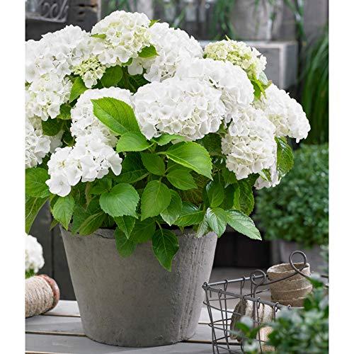 Hydrangea macrophylla'Forever & Ever'| White hydrangrea | Hardy | Height 25-35cm | Pot-Ø 23cm