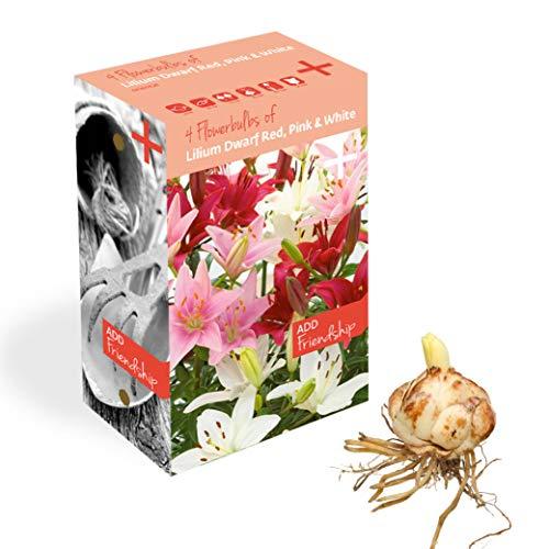 Plant & Bloom bulbos de Lilium Holandeses, 12 bulbos - Fácil de Cultivar - para la siembra de Primavera en su jardín - Calidad Holandesa - Floraciones Rojas Rosas y Blancas - Enana Lilium surtida