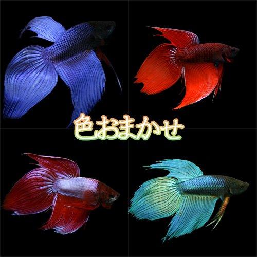 (熱帯魚)ベタ トラディショナル オス 色おまかせ 約5cm 1匹 [生体]