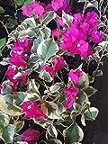 Bougainvillea Plant - 'Raspberry Ice'