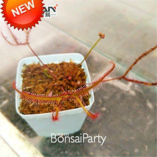 Nouvelle arrivée! Bonsai Seeds attrape-mouche Plantes carnivores Potted Garden Shield Sundew Seeds protection contre les radiations 100 graines / lot, # GYF7U0