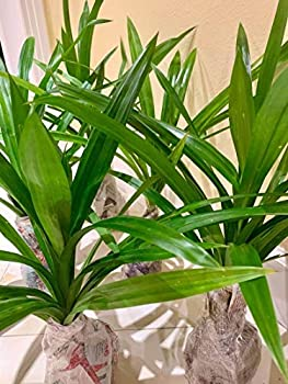 Pandanus Amaryllifolius Rooted Live Plant Pandan Fragrant Leaves PGR1  Large Plant